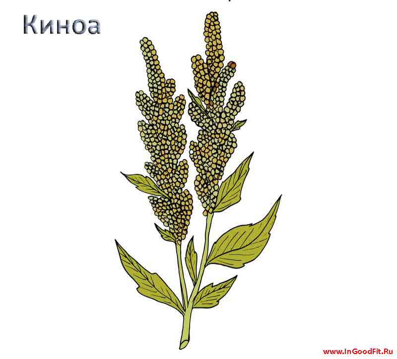 киноа растение