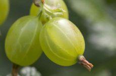 Что за ягода крыжовник и чем он полезен для организма человека