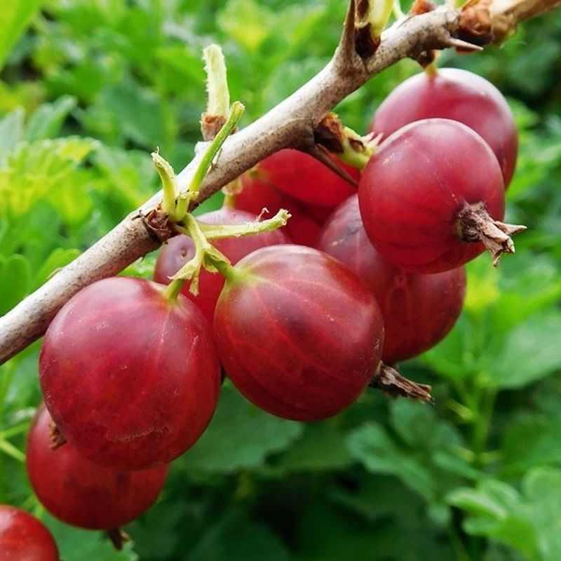 ягода крыжовник фото